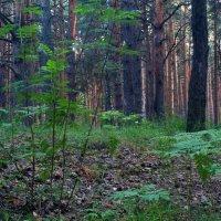 А в вечернем лесу... :: Михаил Полыгалов