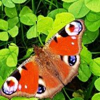 Бабочка Павлиний глаз в нашем саду :: Генрих