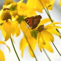 В желтых цветах :: Olcen Len