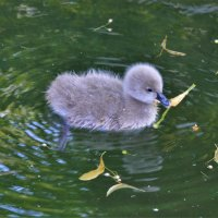 Птенец лебедя :: Константин Анисимов