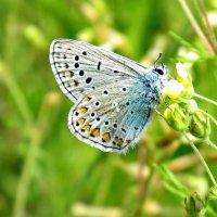 Бабочка голубянка :: OLLES