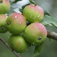 Яблочное лето :: Наталия Григорьева