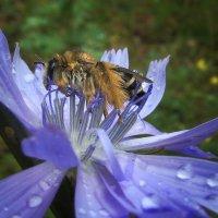 мокрая пчелка :: Лера