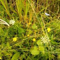 Разные травы :: Татьяна Королёва