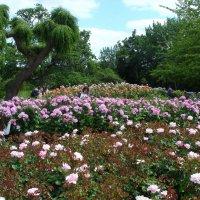 В Саду роз королевы Марии в Лондоне :: Тамара Бедай
