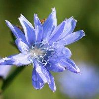Цикория краса и простота... :: Нэля Лысенко