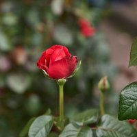 Аленький цветочек :: Валентина Харламова