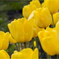 Тюльпаны :: Georgy Kalyakin