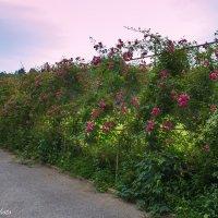 Долина роз. Кисловодск :: Ольга (Кошкотень) Медведева