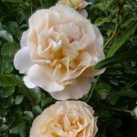 "Роза ""Schloss Eutin "" Шраб :: alexeevairina ."