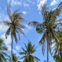 Пальмы острова Ко Ранг Яй :: Виктор Куприянов