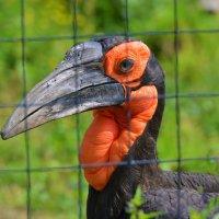 Кафрский рогатый ворон :: Константин Анисимов