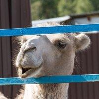В Тюменском зоопарке. Верблюд :: Дмитрий Сиялов