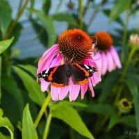 Из жизни бабочек 3 :: Елена Митряйкина