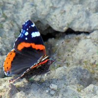 бабочка Адмирал :: Юлия Ошуркова
