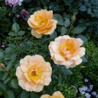 """Роза """"Amber Queen"""" флорибунда :: alexeevairina ."""