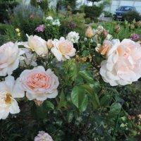 """Роза """"Amaretto"""" клаймер :: alexeevairina ."""