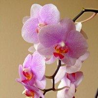 Красавица орхидея :: Сергей Карачин
