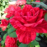 Волгоградские розы :: Надежда