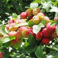 Ранние яблочки :: Galaelina ***
