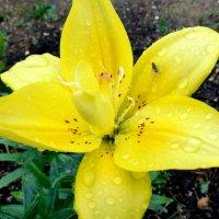 цветок после дождя :: Юлия Ошуркова