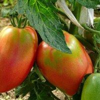 Урожай томатов :: Милешкин Владимир Алексеевич