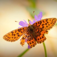 про рыжих бабочек 2 :: Александр Прокудин