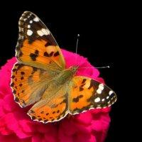 Бабочка позирует.фото-2. :: Nata