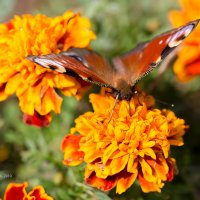 Бабочка на бархотке :: Александр Синдерёв