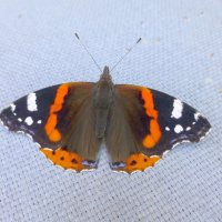 Адмирал (бабочка) :: Наиля