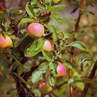 Яблоки на ветвях. :: barsuk lesnoi
