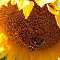 Бабочкою с подсолнуха... :: Маргарита ( Марта ) Дрожжина