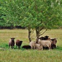 Овцы  во время дождя :: Aida10