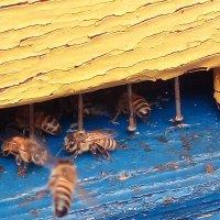 Пчелы. :: Evgeniy Akhmatov