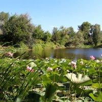Озеро лотосов близ Волгограда :: Dr. Olver ( ОлегЪ )