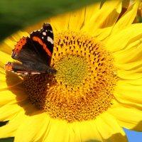 Бабочка и подсолнух. :: Маргарита ( Марта ) Дрожжина
