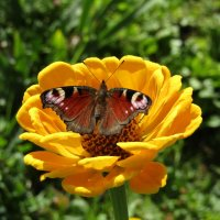 Бабочка, цветок и лето... :: Vladimir Perminoff