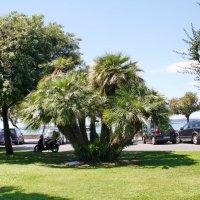 Серебристая пальма :: Лира Цафф