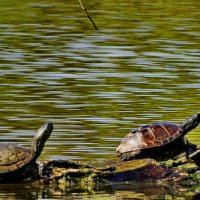Солнечные ванны. Болотная черепаха. :: vodonos241