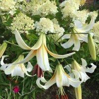 Красота лилий :: minchanka