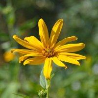 Цветок топинамбура :: lady v.ekaterina