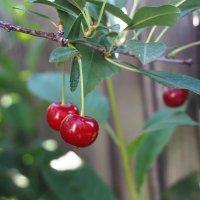 Поспели вишни в саду у дяди Вани :: Лариса Рогова