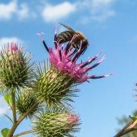 пчела IMG_8393 :: Олег Петрушин