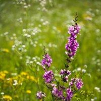 Цветение луговых трав :: Александр Крупский