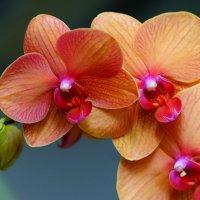 Орхидея :: kvstu