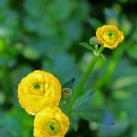 Лютики-цветочки у меня в садочке... :: Светлана