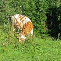 Корова в лесу :: Вера Щукина