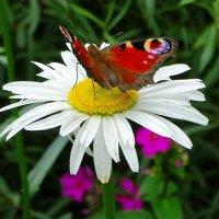 Бабочка на ромашка :: Милешкин Владимир Алексеевич