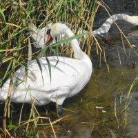 Пока лебедята отдыхают, родители подкрепляются... :: Маргарита Батырева