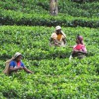 Норма сбора чая в среднем около 35 килограмм в сутки. :: ИРЭН@ .